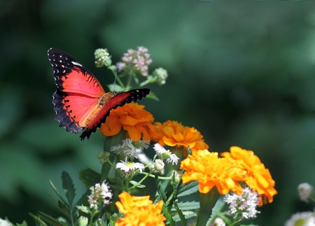 biblis: butterfly (Red Lacewing) sitting on flower