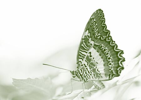 biblis: butterfly (Red Lacewing) sitting on a  leaf