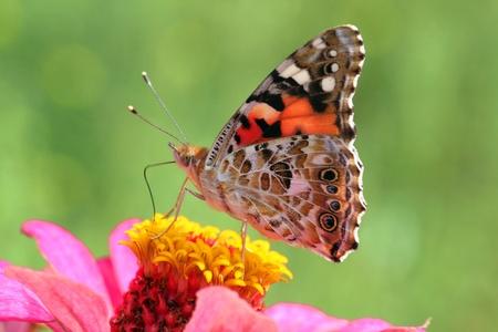 zinnia: butterfly (Painted Lady) on flower (zinnia)