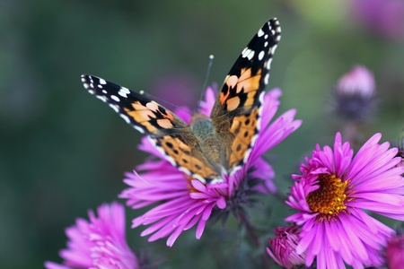 butterfly (Painted Lady) sitting on flower (chrysanthemum) Stock Photo - 10700875