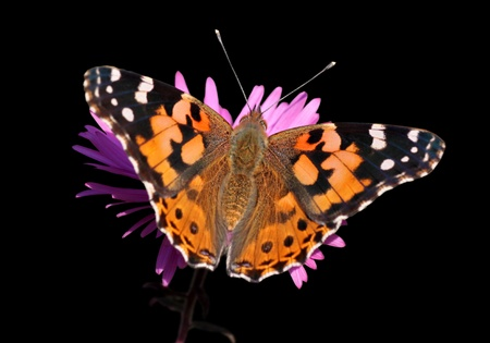 butterfly (Painted Lady) on flower over black Stock Photo - 10700877