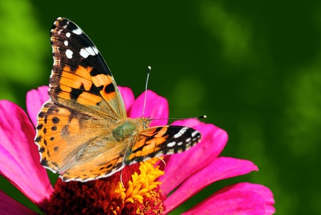 butterfly (Painted Lady) sitting on flower (zinnia) Stock Photo