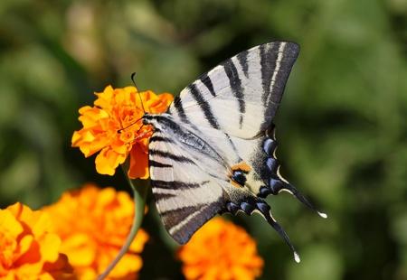 scarce: butterfly (Scarce Swallowtail) sitting on marigold flower