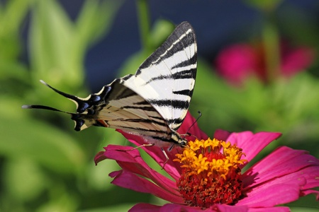 scarce: butterfly (Scarce Swallowtail) sitting on zinnia Stock Photo