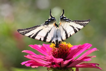 butterfly  Scarce Swallowtail  sitting on zinnia Stock Photo - 12837654