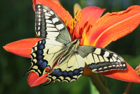 butterfly Papilio Machaon on flower (lily) photo
