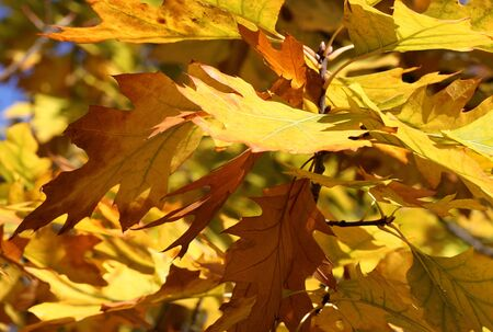 close up of aok tree leaves at fall Stock Photo - 15404025