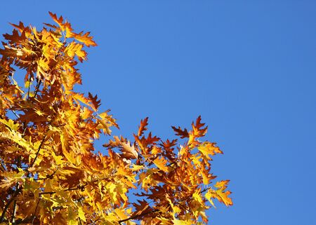branches of oak tree over blue sky at fall Stock Photo - 15404028