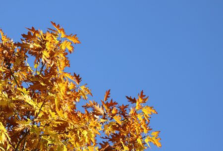 top of oak tree over blue sky at autumn Stock Photo - 15404048