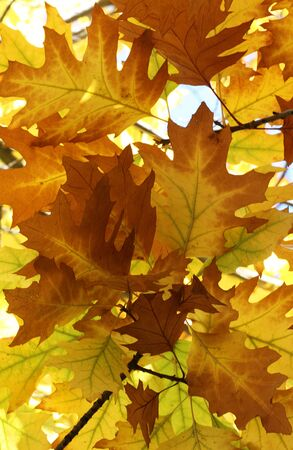 autumnal background  oak tree foliage Stock Photo - 15414065
