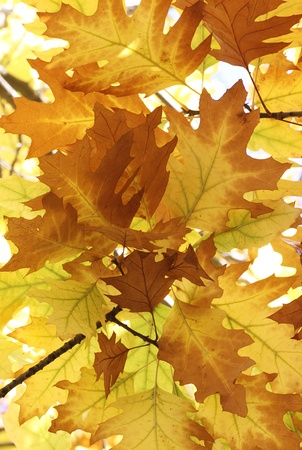 oak tree leaves at fall Stock Photo - 15404047