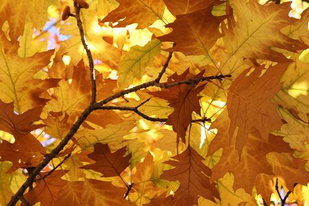 oak tree foliage at fall Stock Photo - 15404453