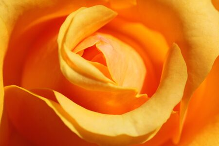 close up of yellow rose photo