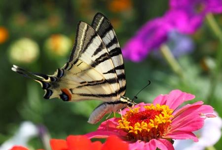 scarce: butterfly  Scarce Swallowtail  sitting on zinnia Stock Photo