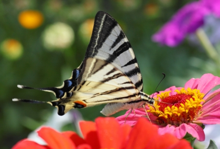 scarce: Scarce Swallowtail butterfly sitting on zinnia Stock Photo
