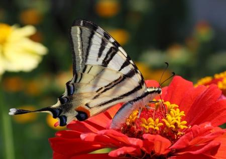 scarce: Scarce Swallowtail butterfly sitting on red flower