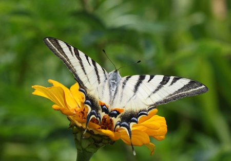 scarce: close up of Scarce Swallowtail butterfly sitting on zinnia