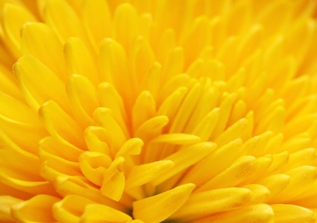 close up of yellow chrysanthemum photo