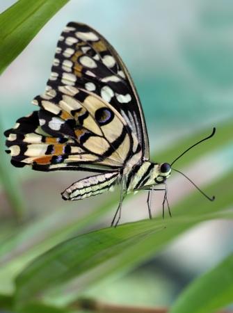 papilio: butterfly Papilio demoleus on a plant