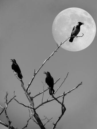 ravens on a dry tree over moon photo