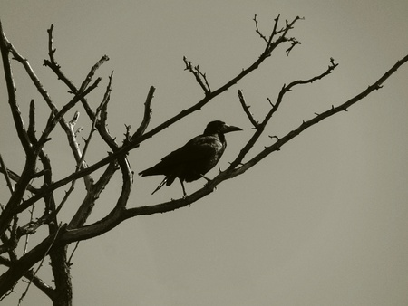 black raven on a branch of dry tree Stock Photo - 17817500