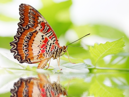 butterfly Red Lacewing on a green plant photo