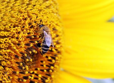 miel de abeja: Close up de abeja en el girasol Foto de archivo