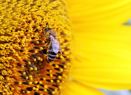 honey bee: close up of bee on sunflower