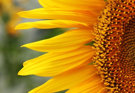 close up: close up of sunflower on field Stock Photo