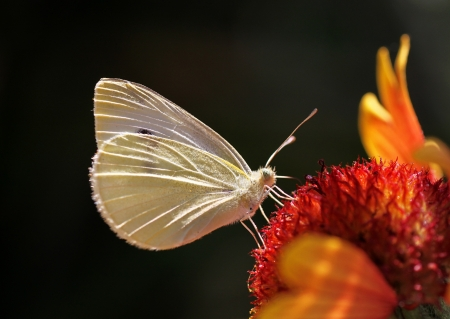 close up of white cabbage butterfly on flower photo