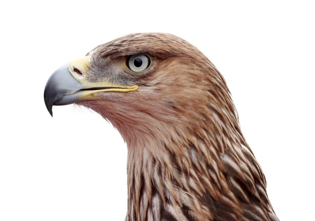 close up of golden eagle head over white
