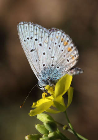 lycaenidae: butterfly (lycaenidae) on flower