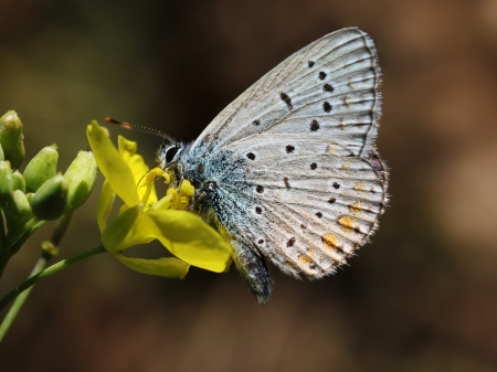lycaenidae: close up of butterfly (lycaenidae) on flower