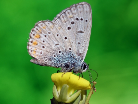 lycaenidae: close up of lycaenidae butterfly on flower Stock Photo