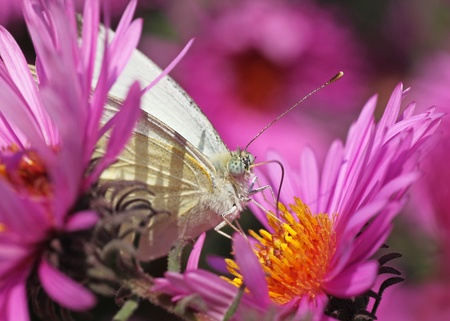 white cabbage butterfly in flowers (chrysanthemums) photo