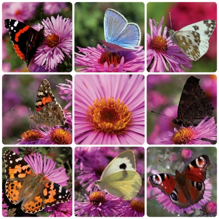 collage with butterflies sitting on chrysanthemum Stock Photo - 18622902