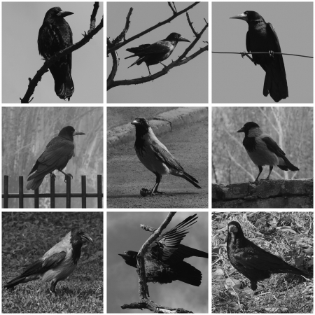 collage with black and white of ravens photo