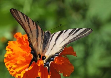 scarce: Scarce Swallowtail butterfly on marigold flower