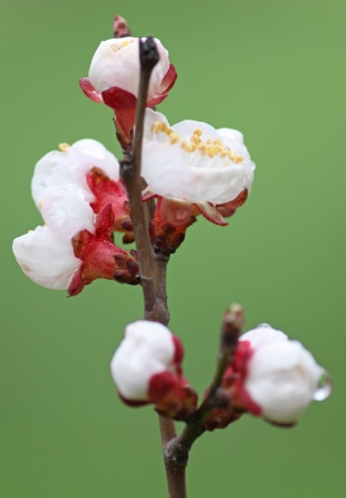 close up of blossoming branch of apricot tree photo