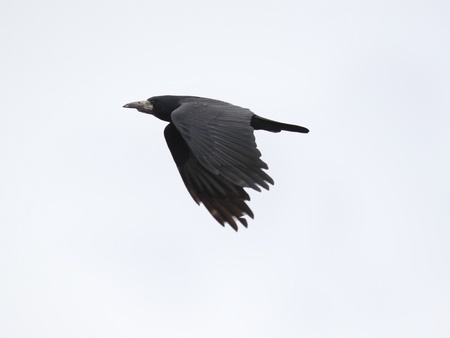 black raven flying in cloudy sky photo