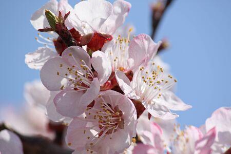 close up of apricot tree blossom over blue sky photo