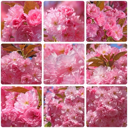 collage with photos of pink japanese cherry tree blossom photo