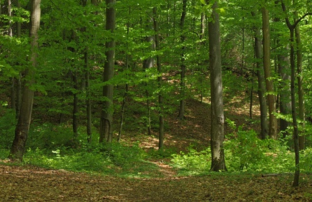 broad leaved tree: deciduous forest with European Beech trees Stock Photo