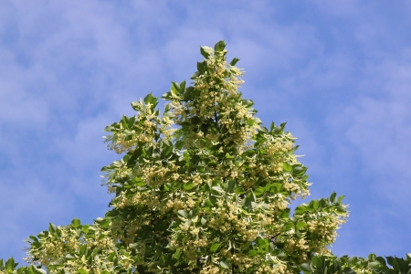 top of linden tree over blue sky photo