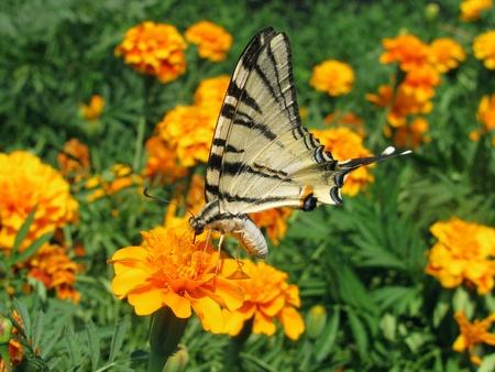 scarce: Scarce Swallowtail butterfly on marigold