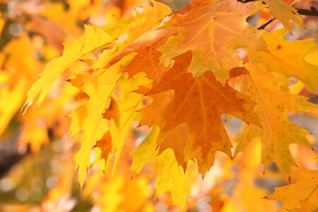close up of oak tree leaves at fall photo