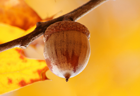 close up of acorn at fall photo