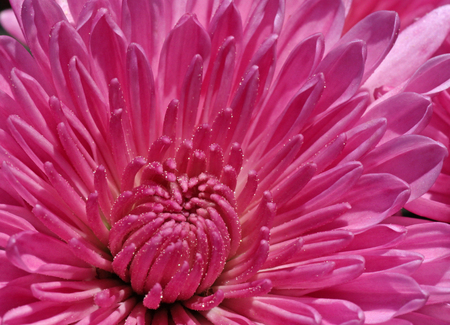 close up of magenta chrysanthemum photo