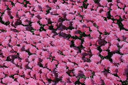 flowerbed with chrysanthemums photo