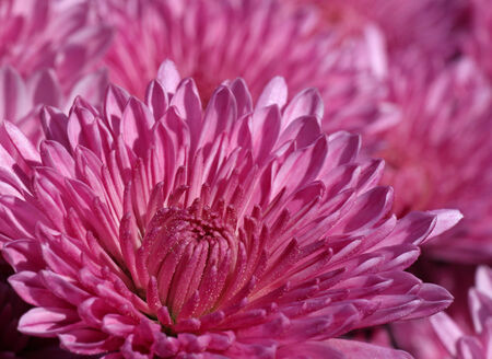 magenta chrysanthemums in a garden photo
